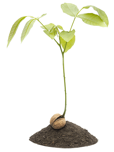 Walnut Sprout